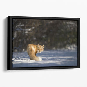A Red Fox turns back to look at the camera Floating Framed Canvas - Canvas Art Rocks - 1