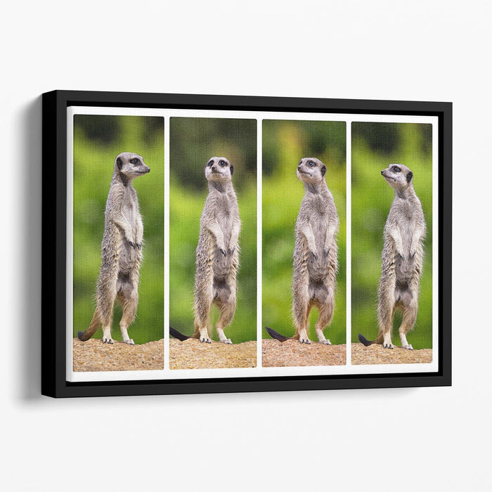 A collage of meerkats Floating Framed Canvas