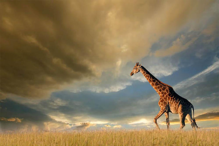 A giraffe walking on the African plains against a dramatic sky Wall Mural Wallpaper
