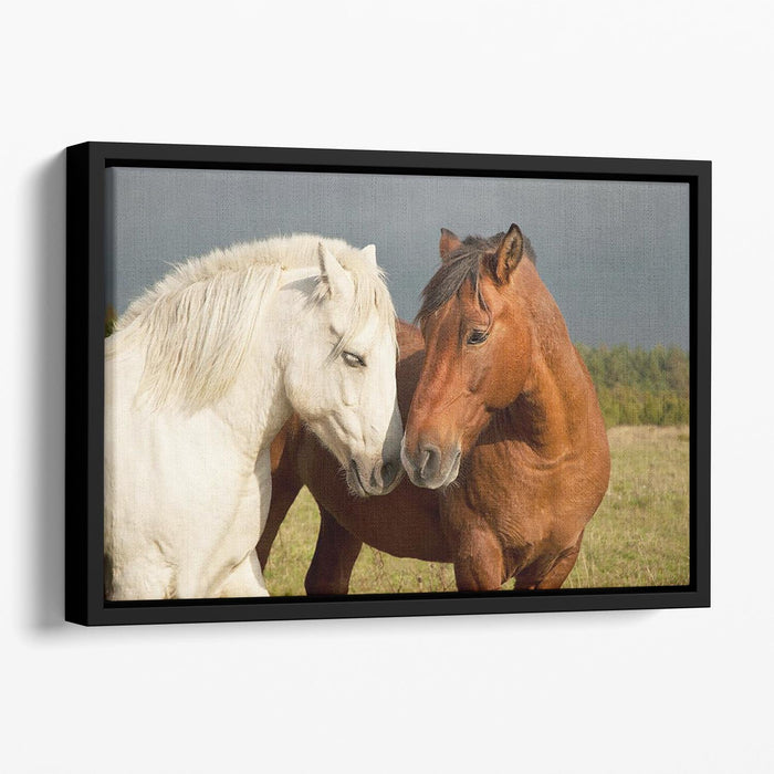 A pair of horses showing affection Floating Framed Canvas