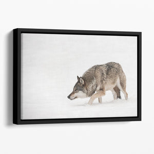 A solitary lone wolf prowls through snow Floating Framed Canvas - Canvas Art Rocks - 1