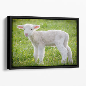 A white suffolk lamb Floating Framed Canvas - Canvas Art Rocks - 1
