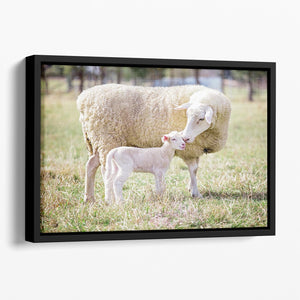 A white suffolk sheep with a lamb Floating Framed Canvas - Canvas Art Rocks - 1