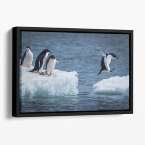 Adelie penguin jumping between two ice floes Floating Framed Canvas - Canvas Art Rocks - 1