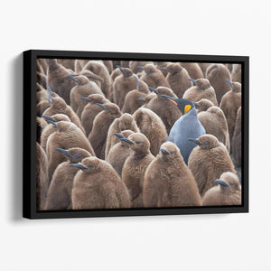 Adult King Penguin Aptenodytes patagonicus standing amongst a large group Floating Framed Canvas - Canvas Art Rocks - 1