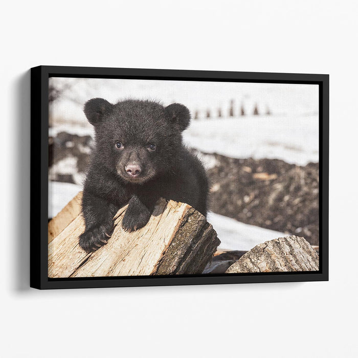 American black bear cub Floating Framed Canvas