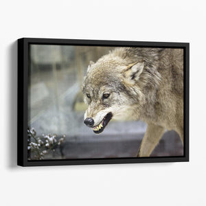 Angry grey wolf in winter forest Floating Framed Canvas - Canvas Art Rocks - 1