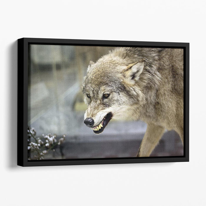 Angry grey wolf in winter forest Floating Framed Canvas
