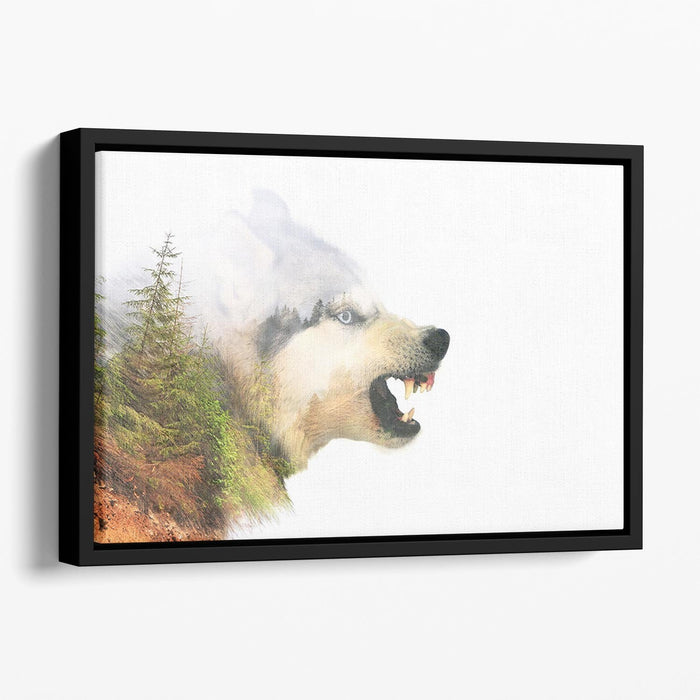 Angry siberian husky dog Floating Framed Canvas