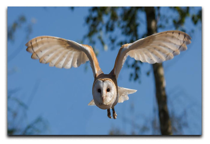 Barn Owl Canvas Print or Poster