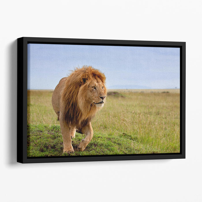 Beautiful Lion Long in Masai Mara Floating Framed Canvas