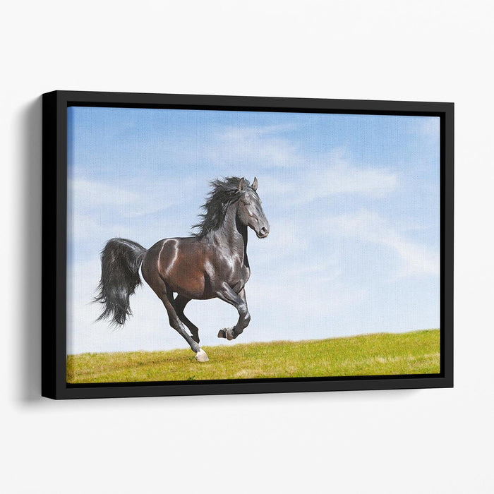 Black Kladruby horse rung gallop Floating Framed Canvas