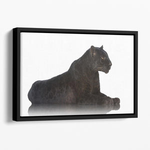 Black Leopard 6 years in front of a white background Floating Framed Canvas - Canvas Art Rocks - 1