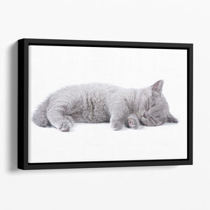 British kitten on white background Floating Framed Canvas - Canvas Art Rocks - 1