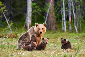 Brown mother bear protecting her cubs Wall Mural Wallpaper - Canvas Art Rocks - 1