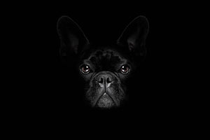 Bulldog dog Wall Mural Wallpaper - Canvas Art Rocks - 1