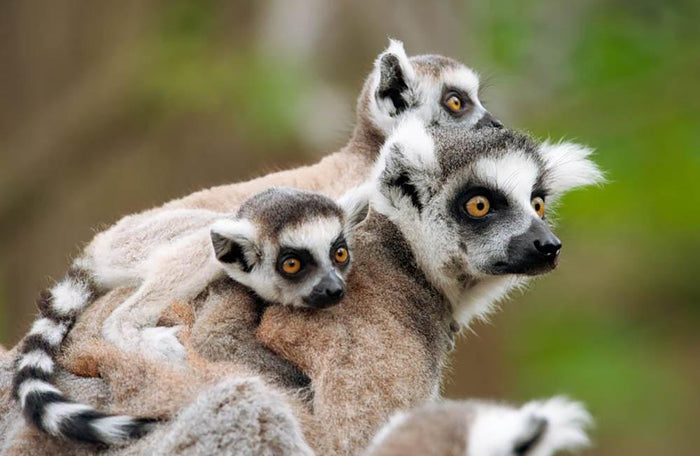 Close-up of a ring-tailed lemur Wall Mural Wallpaper