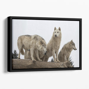 Close up image of a grey wolf pack Floating Framed Canvas - Canvas Art Rocks - 1