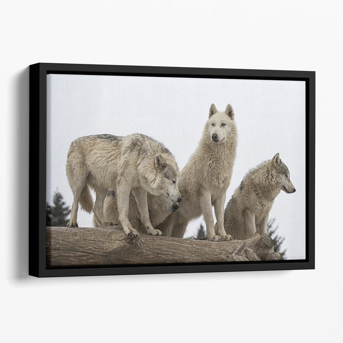 Close up image of a grey wolf pack Floating Framed Canvas