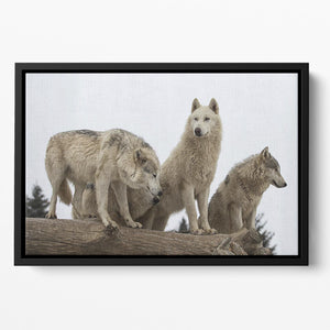 Close up image of a grey wolf pack Floating Framed Canvas - Canvas Art Rocks - 2