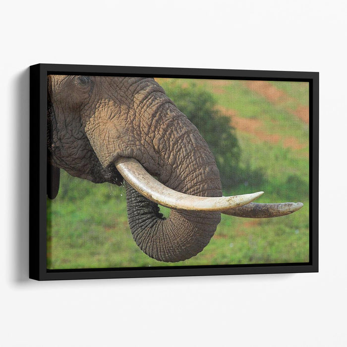 Close up of an African Elephants tusks Floating Framed Canvas
