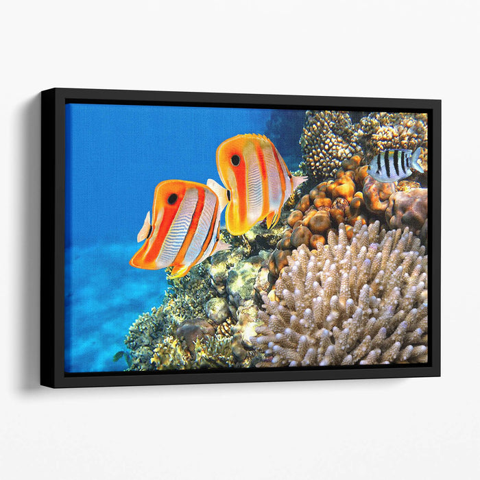 Coral reef and Copperband butterflyfish Floating Framed Canvas