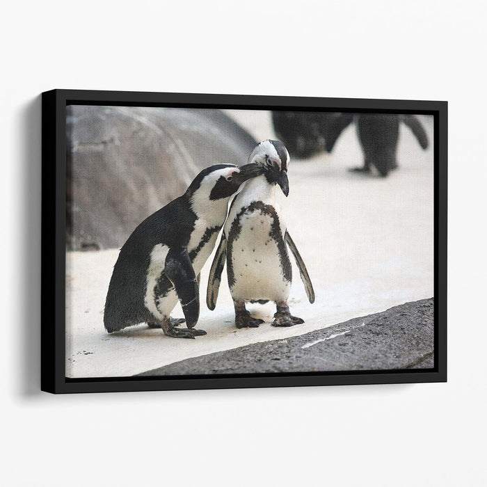 Cute affectionate penguin couple at the zoo Floating Framed Canvas