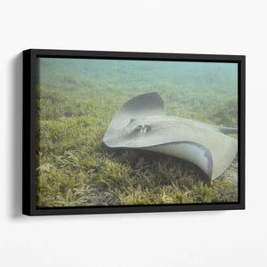 Darkspotted stingray Floating Framed Canvas