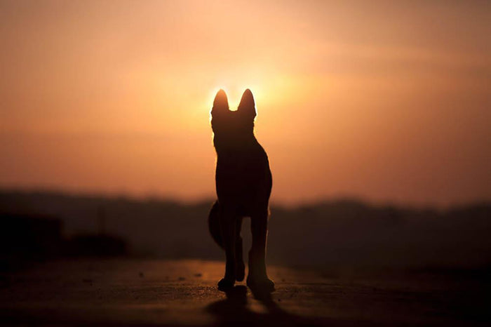 Dog backlight silhouette in sunset Wall Mural Wallpaper