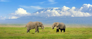 Elephant with Mount Kilimanjaro in the background Wall Mural Wallpaper - Canvas Art Rocks - 1