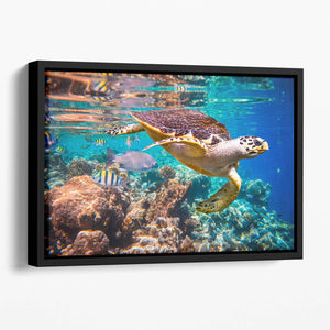 Eretmochelys imbricata Floating Framed Canvas