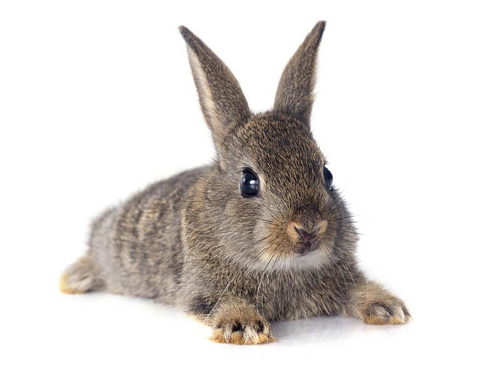 European rabbit in front of white background Wall Mural Wallpaper