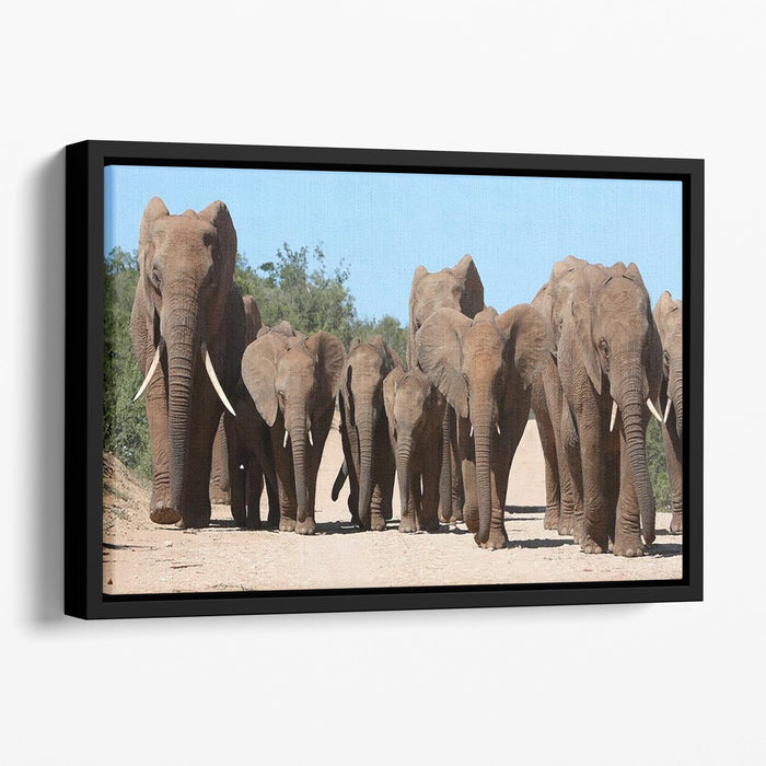Family herd of African elephants on the move Floating Framed Canvas