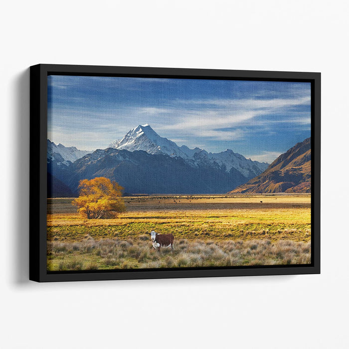Farmland with grazing cows and Mount Cook on background Floating Framed Canvas