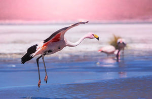Flamingo in Bolivia Wall Mural Wallpaper - Canvas Art Rocks - 1