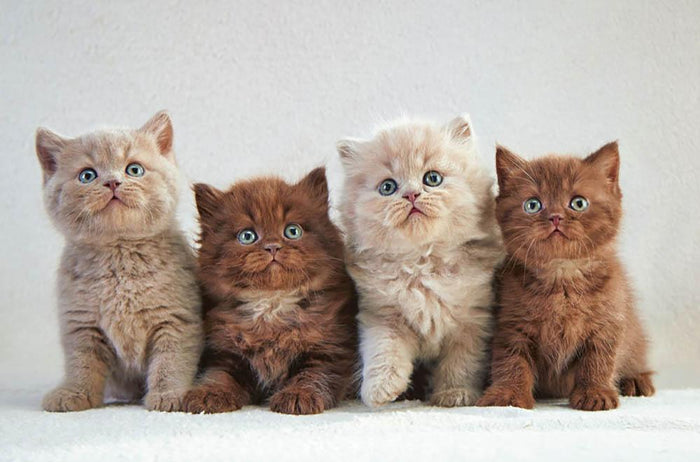 Four various british kittens Wall Mural Wallpaper