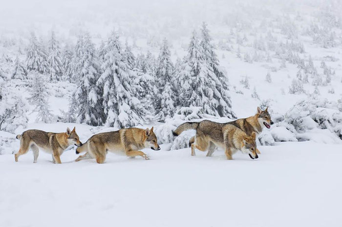 Four wolves in fresh snow in the mountains Wall Mural Wallpaper