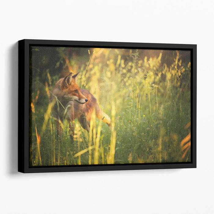 Fox on the summer forest Floating Framed Canvas