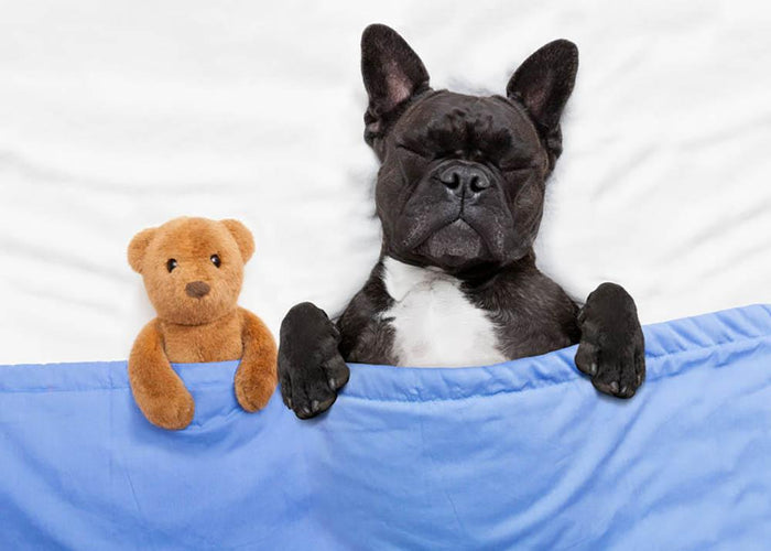 French bulldog dog with headache and hangover sleeping in bed Wall Mural Wallpaper