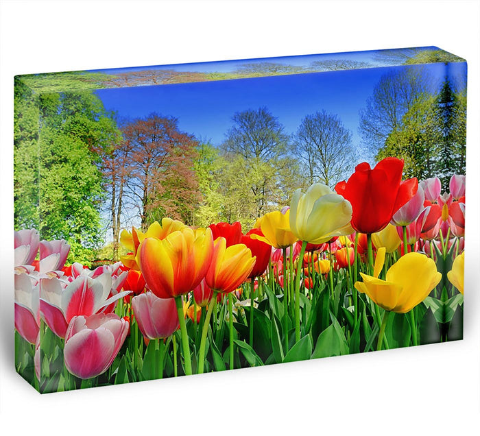 Fresh multicolored tulips in a spring park Acrylic Block