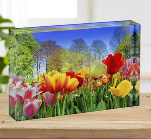 Fresh multicolored tulips in a spring park Acrylic Block - Canvas Art Rocks - 2