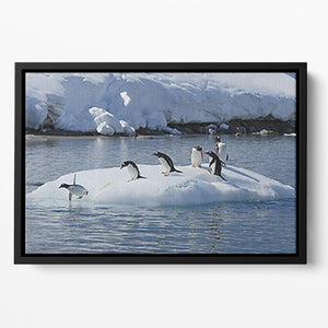 Gentoo Penguin playtime Floating Framed Canvas - Canvas Art Rocks - 2
