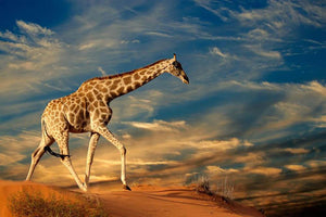 Giraffe walking on a sand dune with clouds South Africa Wall Mural Wallpaper - Canvas Art Rocks - 1