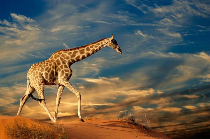Giraffe walking on a sand dune with clouds South Africa Wall Mural Wallpaper