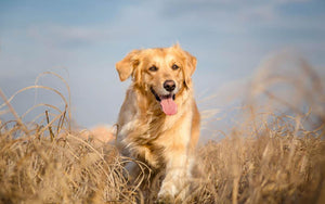 Golden retriever dog running outdoor Wall Mural Wallpaper - Canvas Art Rocks - 1