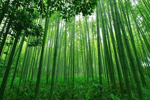 Green bamboo forest Wall Mural Wallpaper - Canvas Art Rocks - 1
