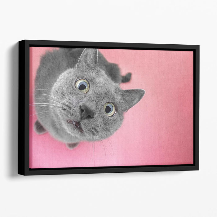 Grey cat sitting on the pink background Floating Framed Canvas