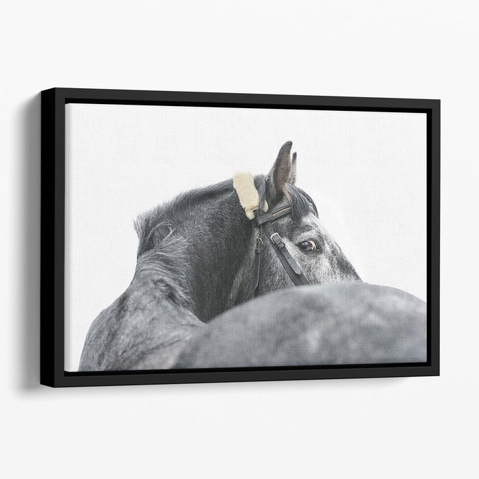 Grey horse isolated Floating Framed Canvas