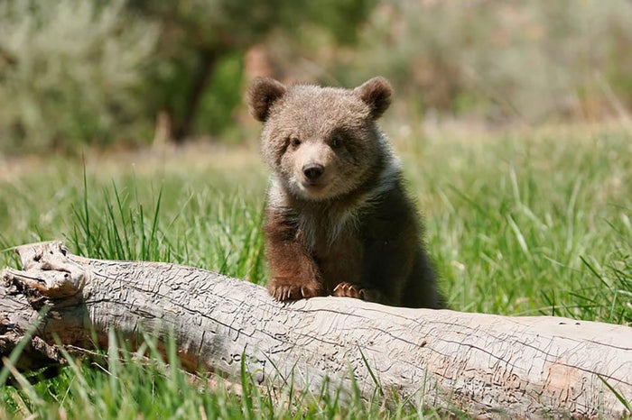 Grizzly bear cub Wall Mural Wallpaper
