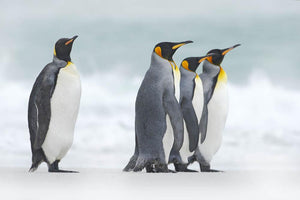 Group of four King penguins Wall Mural Wallpaper - Canvas Art Rocks - 1